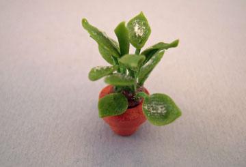 """csd 1/2"""" scale diefenbachia plant"""